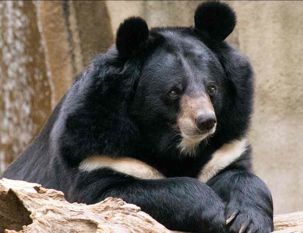 The Asian black bear, also known as the moon bear and the white-chested bear, is a medium-sized bear species native to kashmir and largely adapted to arboreal life.