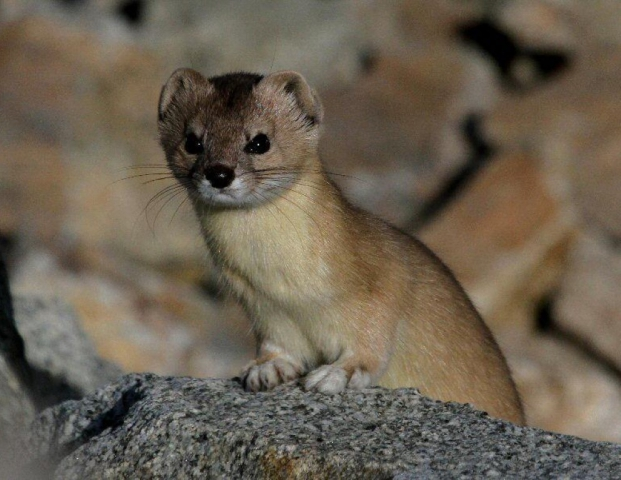 This Specie is sometimes referred to as pale weasel is found in the region of Azad Kashmir. It is a high-altitude carnivore which has a short muzzle, long flattened skull, a slim body and short legs.