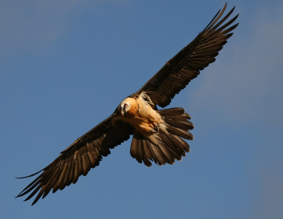 The bearded vulture, also known as the lammergeier or ossifrage, is a bird of prey. They have unusual eating habits and the only birds that live almost entirely on bone marrow.