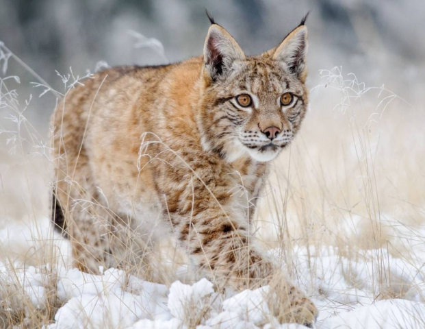 Lynx are covered with beautiful thick fur which keeps them warm. They are solitary cats that haunts the remote northern forests of North Asia.