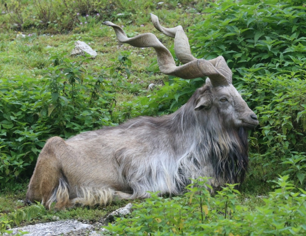 Indigenous to Pakistan's Himalayan and Karakoram ranges. Markhor is a gigantic goat's specie. It is the national animal of Pakistan.