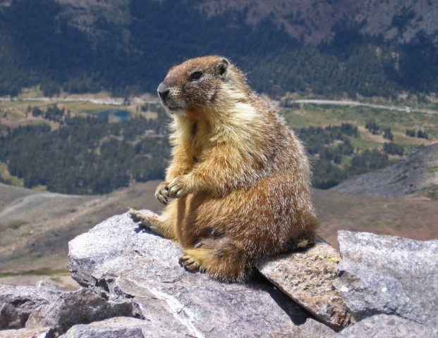 Marmots are big and chubby with short legs and bulky bodies. They typically live in borrows and hibernate there through winters and are fond n Gilgit-Baltistan.
