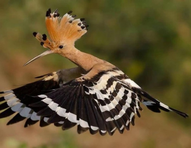 It is recognized because of its colorful feathers. Hoopoe is named because of the onomatopoeic sound produced by the bird:oop-oop-oop.